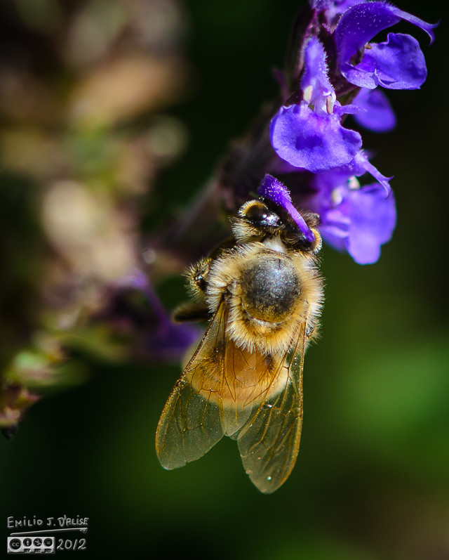 This looks like the Salvia has the bee in a head-lock.