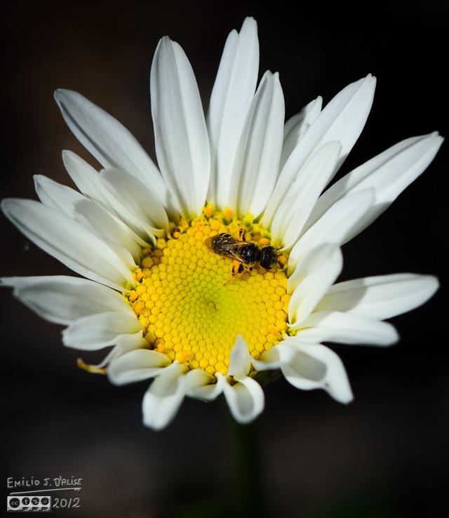 Bee on a Daisy.