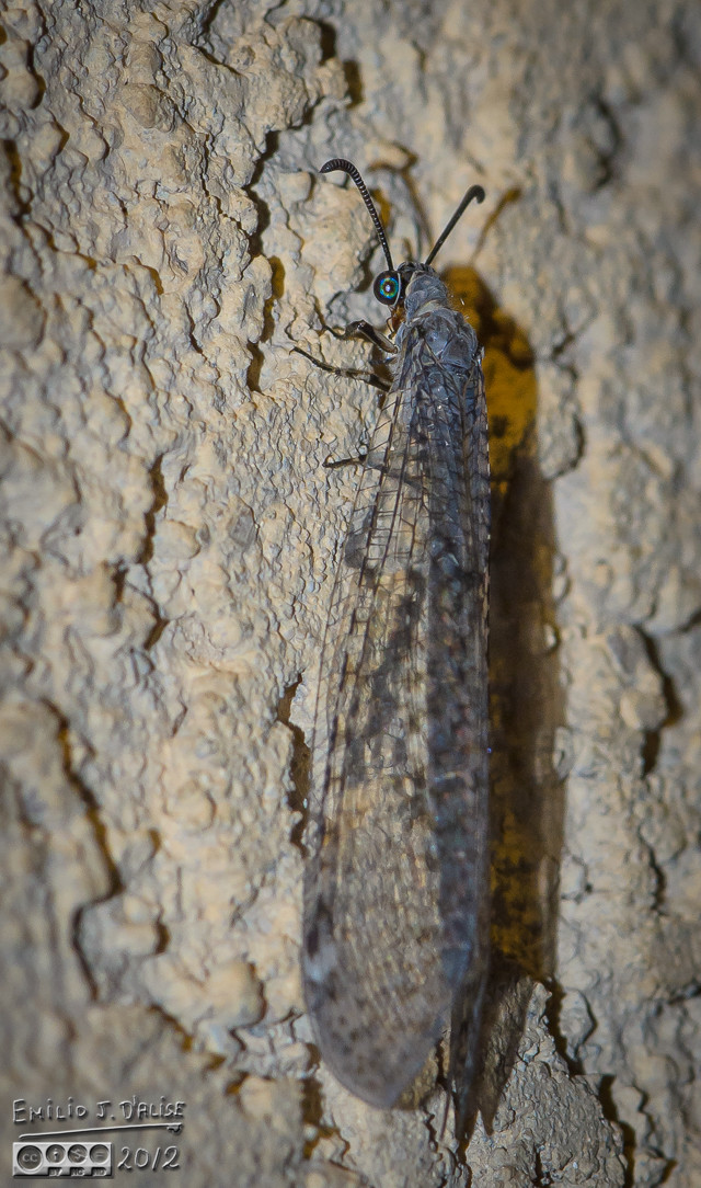 The light would attract bugs, and me heading out early meant I would see them.  I think this is a Lacewing.