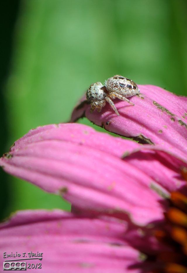 Jumping Spider on petal of Cone Flower.