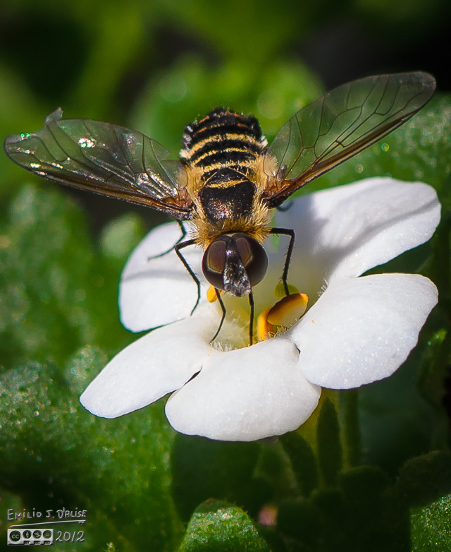Another fly that posed for me . . .