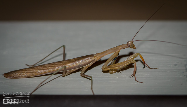 This Praying Mantis was on the door frame.  All these photos are rotated 90 degrees for a better view of this specimen.