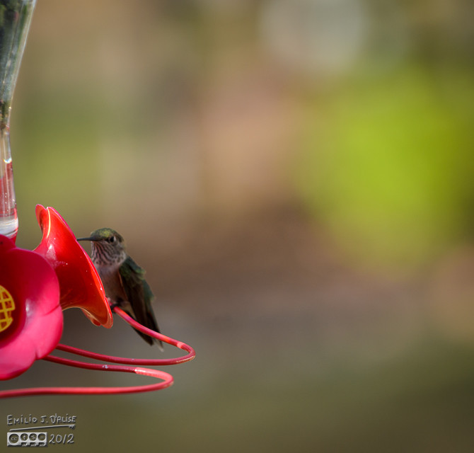 A hummer is already sitting there, enjoying the sugary water I provide.