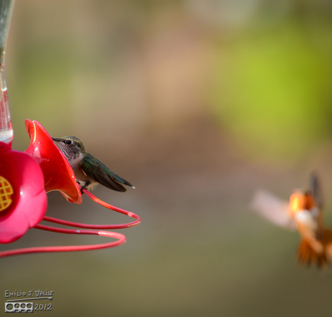 The Rufous arrives . . .