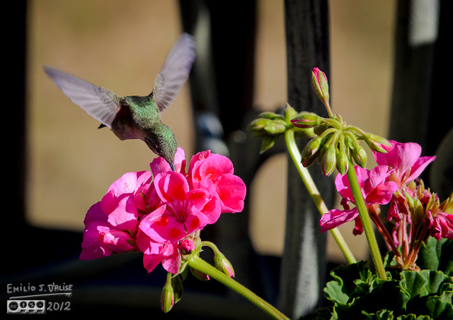 Here's one sampling one of the Geraniums.