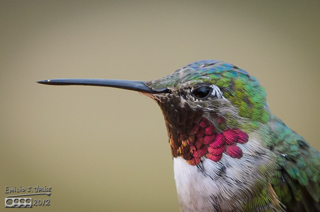 """But the hummingbirds themselves will adjust the way the feathers are angled to """"flash"""" potential rivals."""