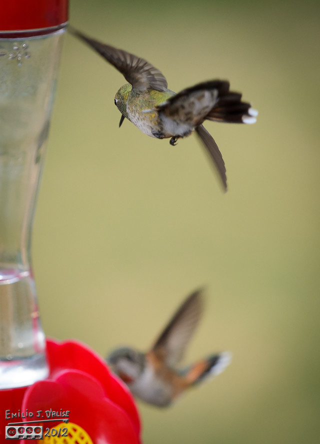 So, more than half the time at the feeders is actually spent not filling up, but chasing others away.