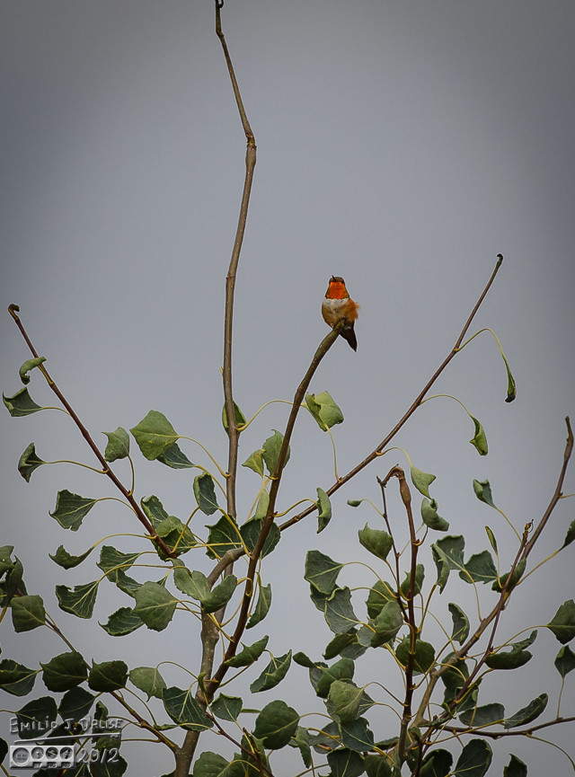 This one was perched on the neighbors' trees, guarding the three feeders it could see from there.
