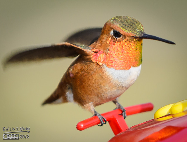 Of all the hummingbirds we get, they look the meanest.