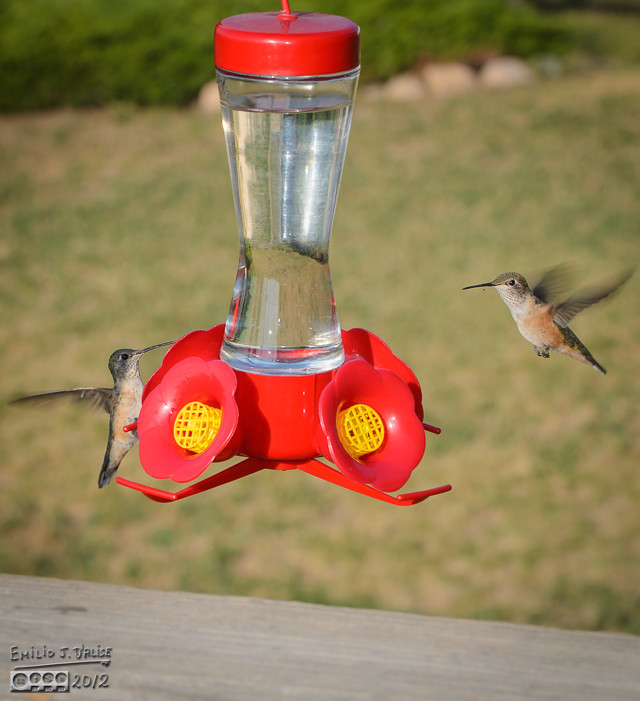 This is by far the more typical scenario . . . wings flapping, lots of chirping, and not much actual aggression.