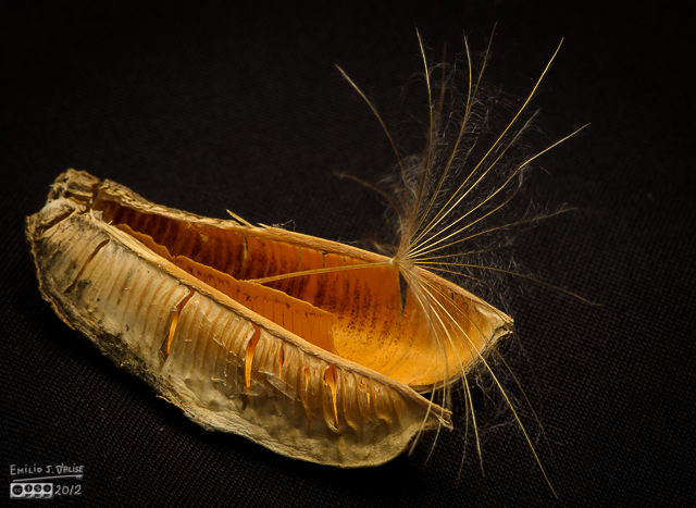 A Yuccas seed and a Salsify seed