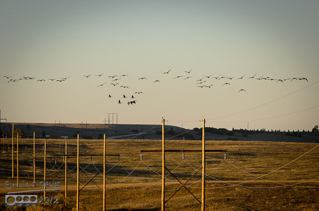 Migrating Geese 2012