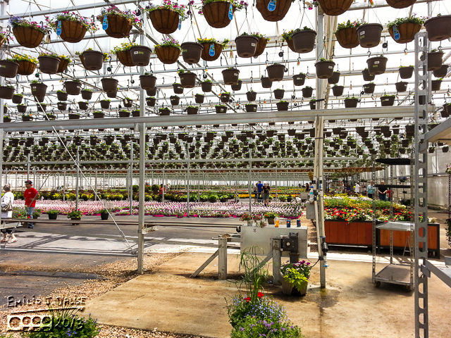 At the big pots, and looking out toward the rest of one of the greenhouses.