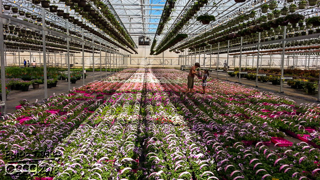 Flowers as far as the eye can see.