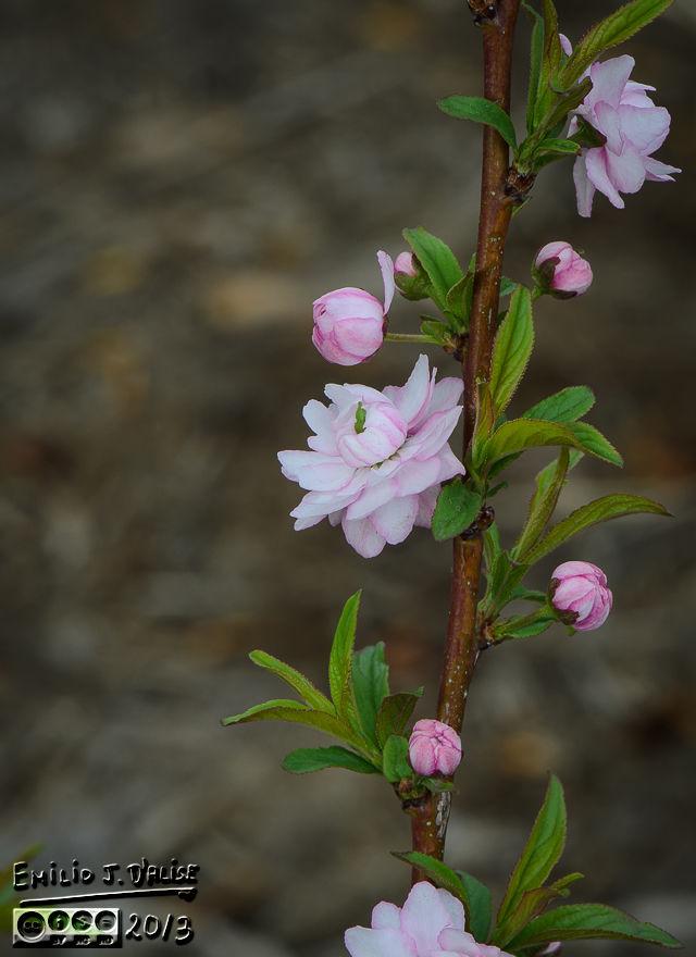 My flowering shrub