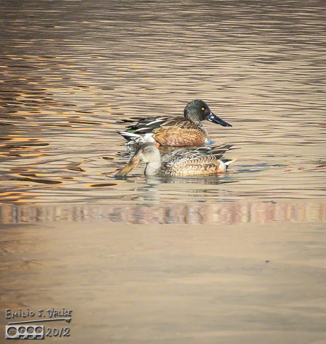 . . . and Mrs. Durante Duck! It's my lucky day!