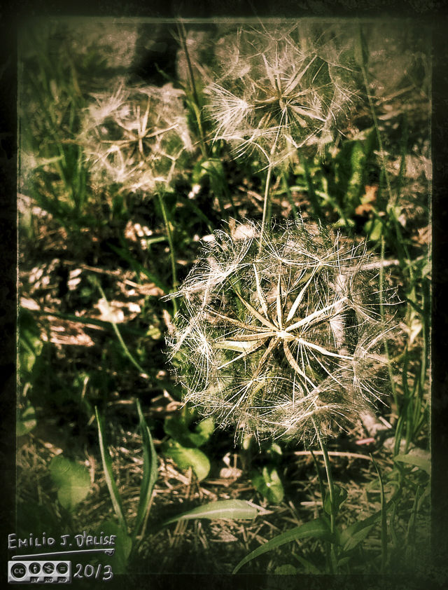 Salsify SnapSeeded