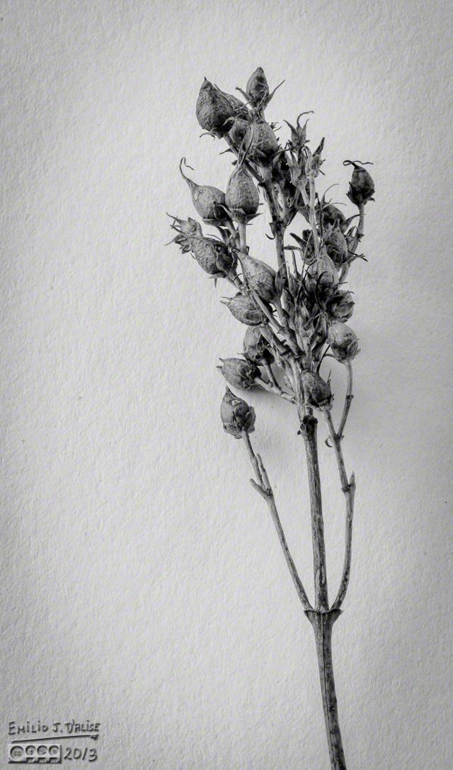 Seed pods - Topaz B&W 2
