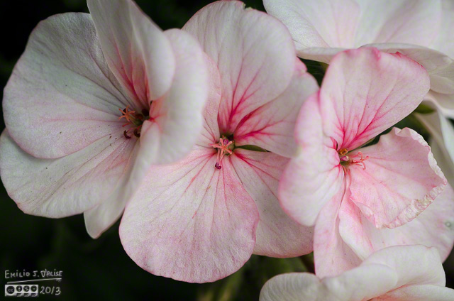 Pink and white geraniums