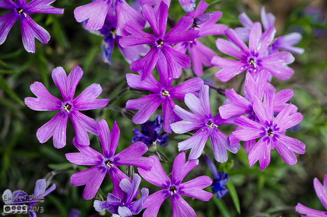 Purple-pink Phlox