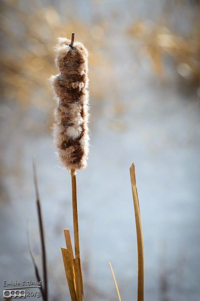 Cattails,