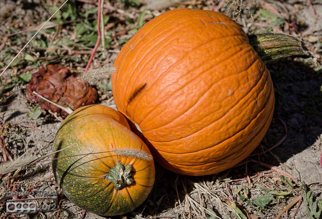 Siamese Twins Pumpkins