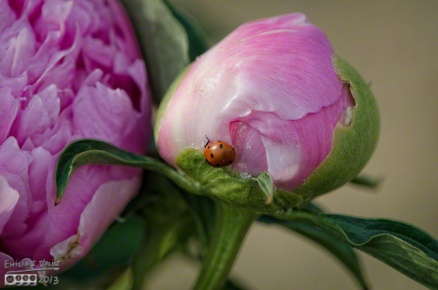 Pink Peony and Lady Bug