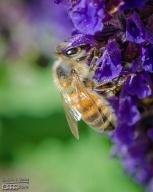 Salvia and Bee