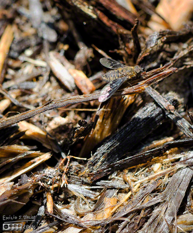 Gorilla Mulch Fly