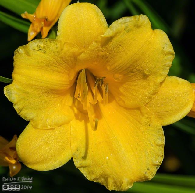 Stella D'Oro Lily