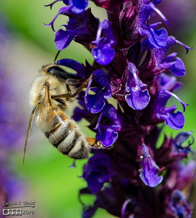 Bee and Salvia