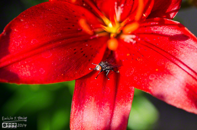 Gran Paradiso Oriental Lily and fly