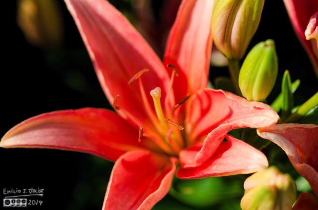 Gran Paradiso Oriental Lily