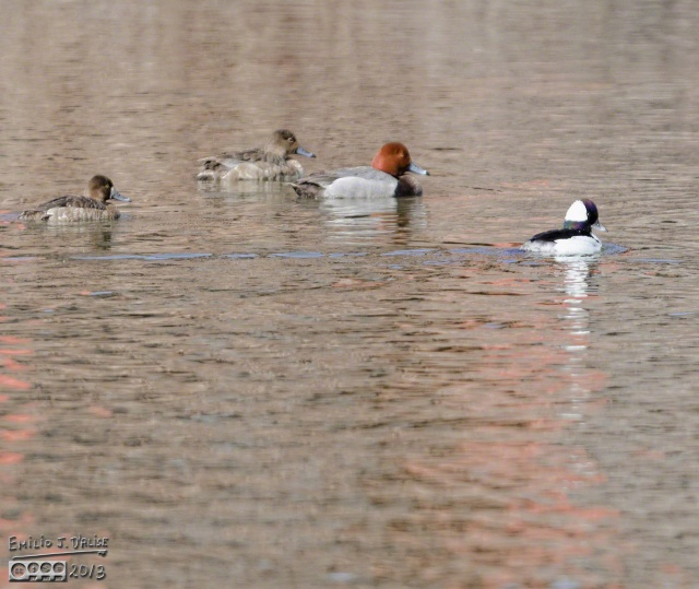 Redhead trio and a Bufflehead