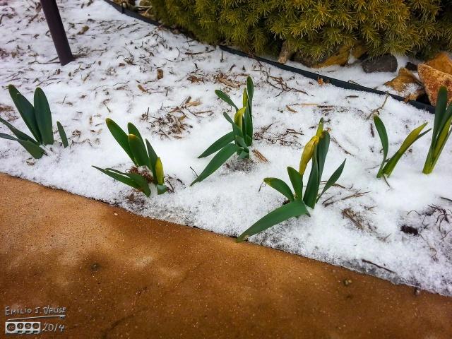 . . . my Daffodils . . .