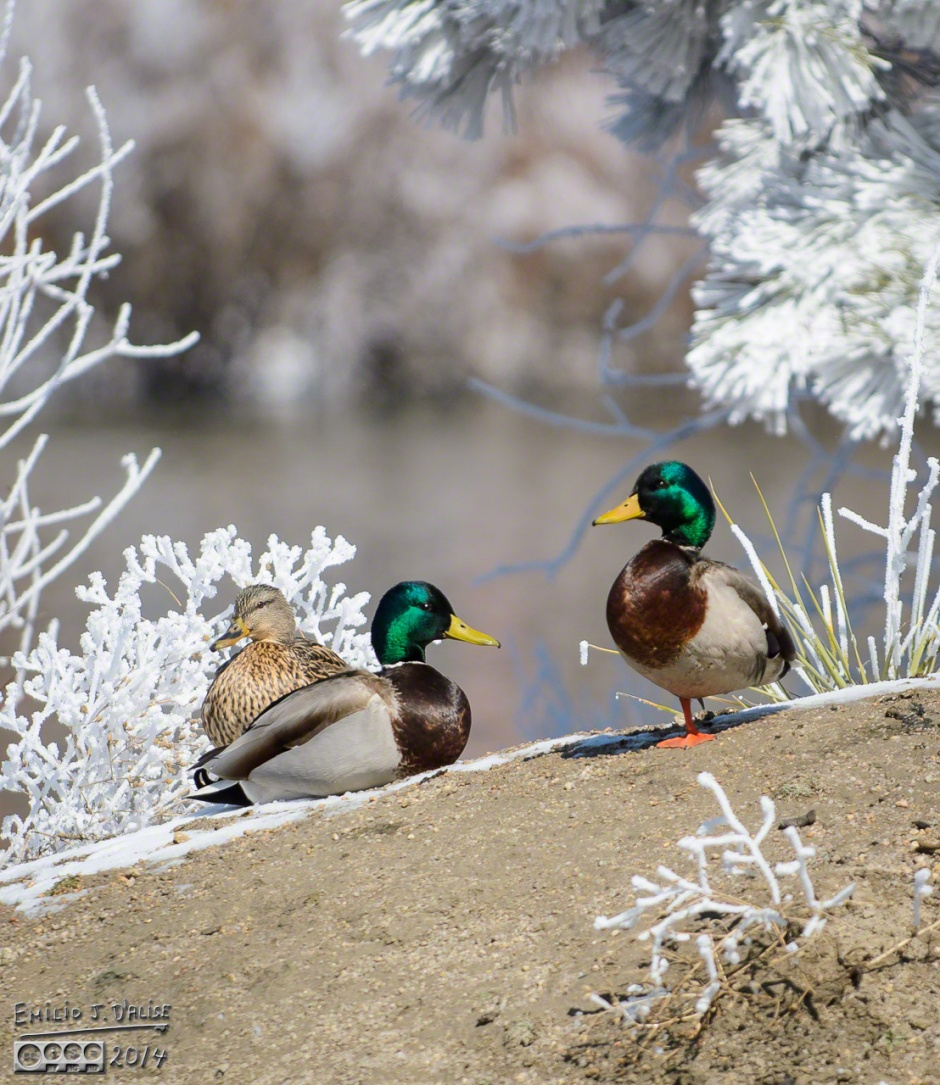 Ducks, Geese, library pond,