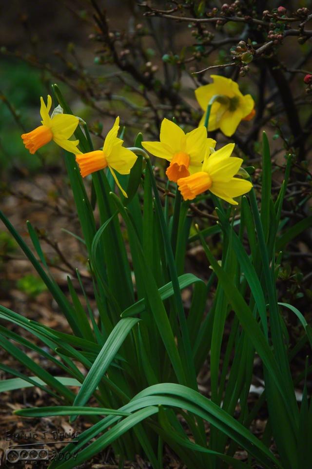 0059_IL_APR2K4-daffodils_DIGI