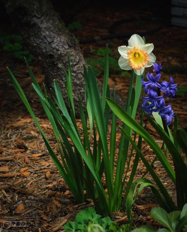 0077_IL_APR2K4-daffodils_DIGI