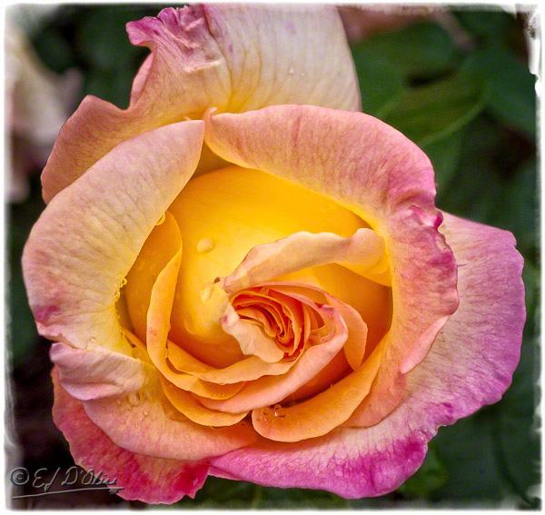 0105-yellow-rose-1_DIGI