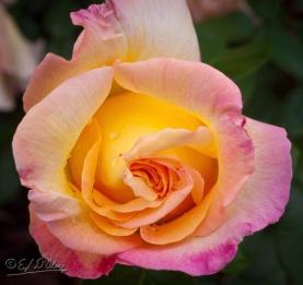 0105-yellow-rose_DIGI