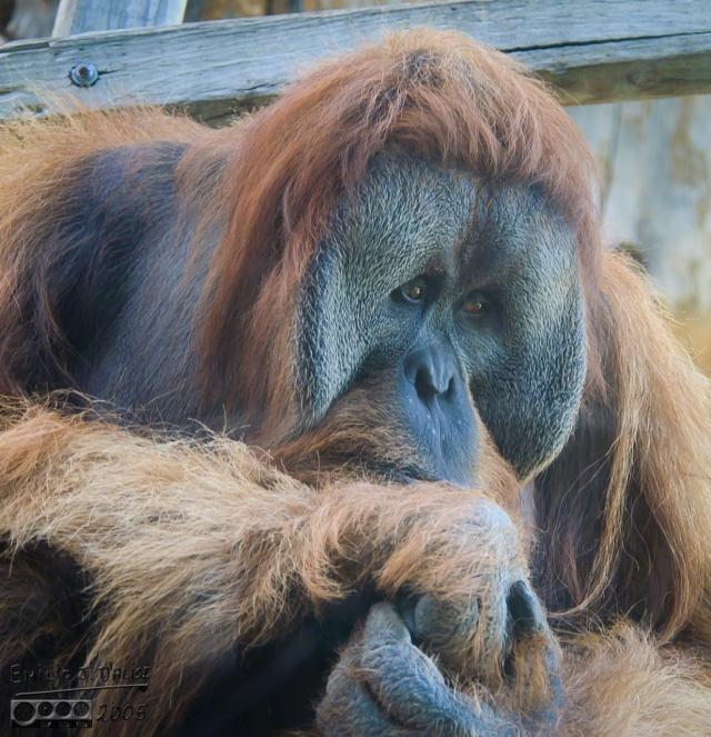 Zoo life - Sumatran Orangutan