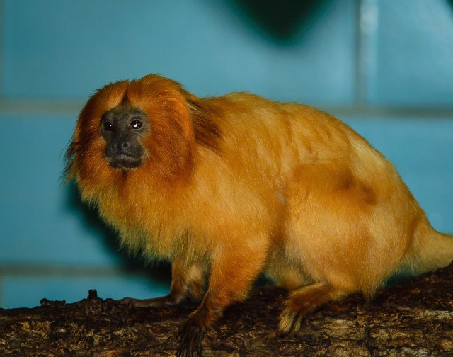 Zoo life - Golden Lion Tamarin