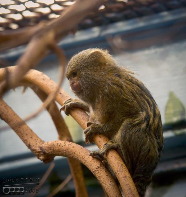 Zoo life - Pygmy Marmoset