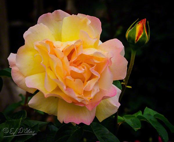 DSC_0104-yellow-roses_DIGI