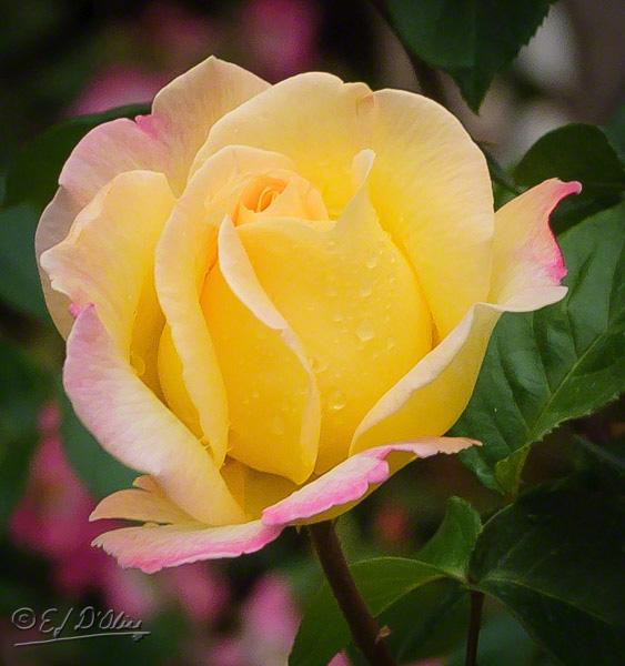 Pink-roses-01_DIGI