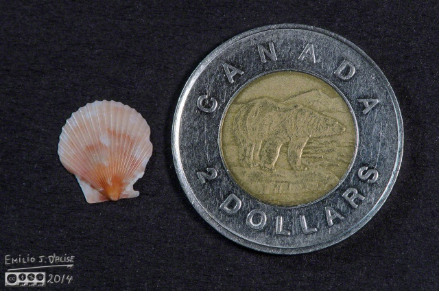 Reference shell and reference Canadian $2 Coin