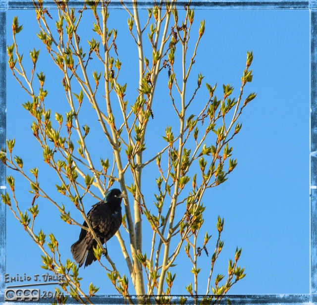 Evening Grackle