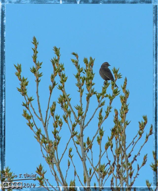 Female Brown-Headed Cowbird (?)
