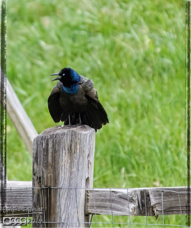 Common Grackle - I think this is a mating call