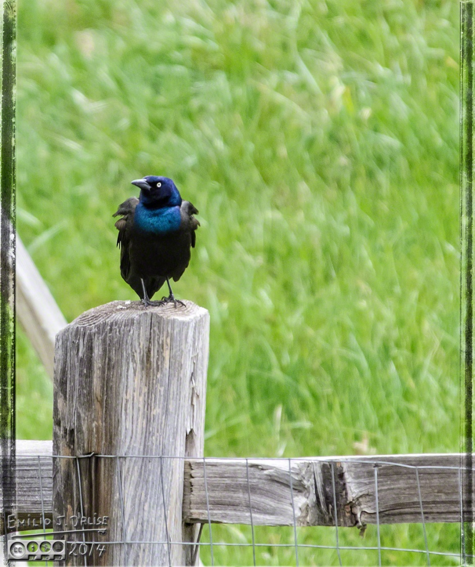 Common Grackle - back to just plain Bruce Wayne